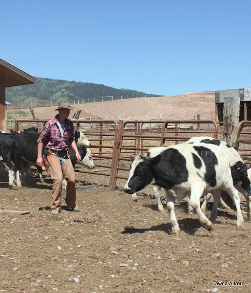 sorting-cows